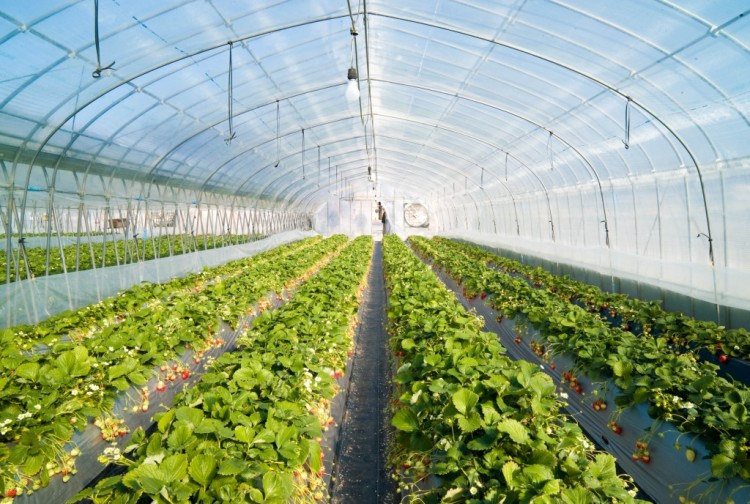 Strawberry_greenhouse-e1434102631281.jpg